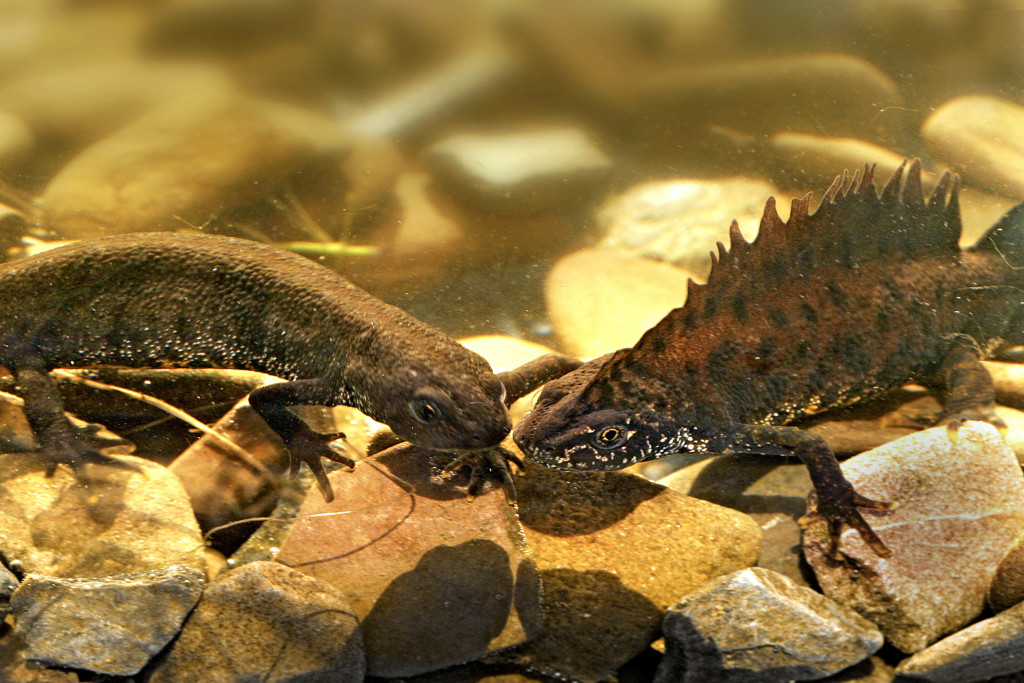 Kamsalamander (Triturus cristatus), Salamanders (Salamandridae), Salamanderachtigen (Caudata), Amfibieen (Amphibia), fauna, salamander, amfibie - Roderveld, Denekamp, Twente, Overijssel, Nederland, Europa
